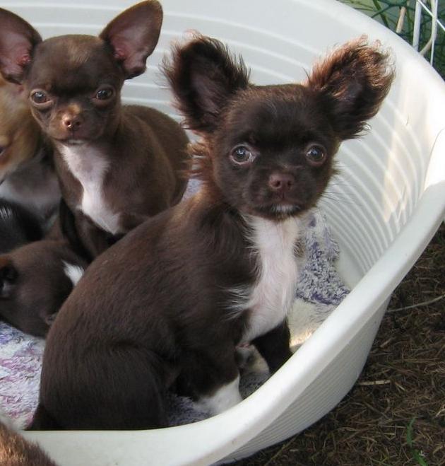 Купить длинношерстного щенка чихуахуа в Минске