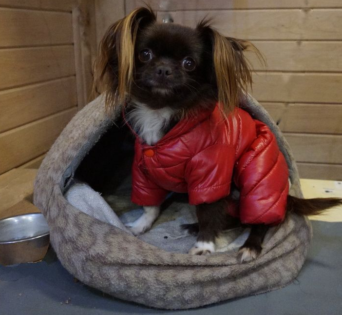 Питомник чихуахуа в Беларуси, купить породистого щенка чихуахуа