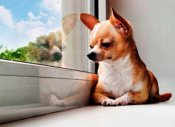 Питомник чихуахуа Беларусь, купить породистого щенка чихуахуа в Гомеле