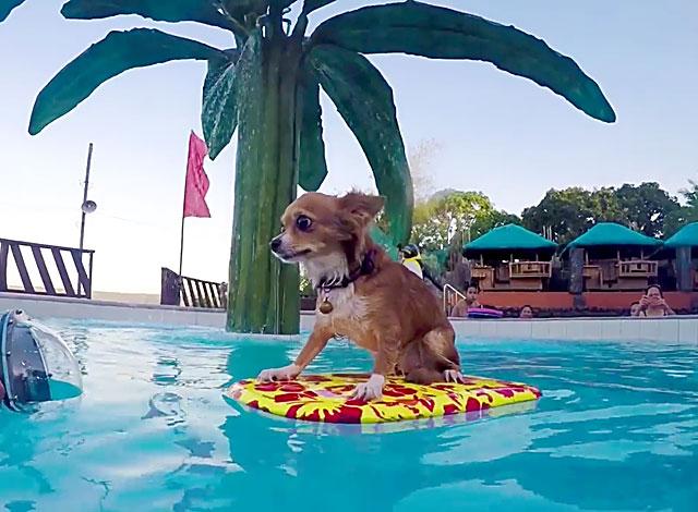 Как купать чихуахуа? Рекомендации питомника