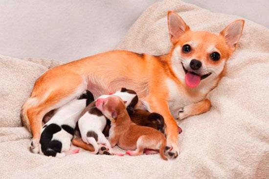 Как рожает чихуахуа? Беременность и роды у чихуахуа.