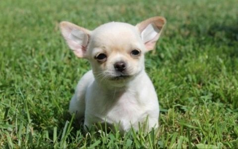 Купить длинношерстного щенка чихуахуа в Беларуси