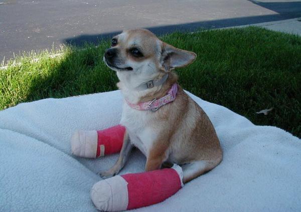 Травмы у чихуахуа: виды и первая помощь.