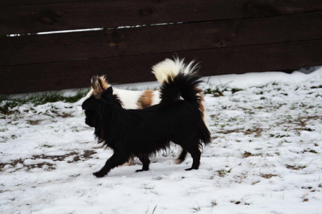 Acheter Chihuahua en France